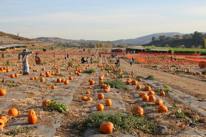 pumpkin-patch-tanaka-farms-2013-blog