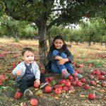 Recogiendo manzanas en Oak Glen 2016