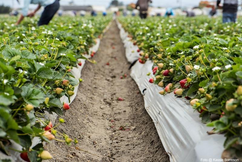 fresas de California #PickReal
